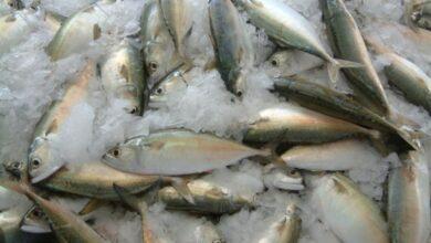 صورة أكثر من 704 آلاف طن إجمالي كميات الأسماك المنزلة في السلطنة بنهاية نوفمبر 2020..