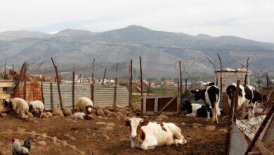 صورة 7 بقرات تشعل نزاعاً بين لبنانيين وإسرائيل! وقوة تابعة للأمم المتحدة تُعلّق..